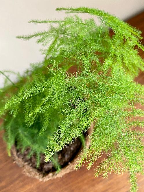 asparagus setaceous 'plumosus'.