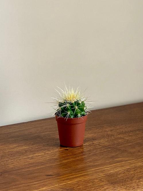 Mini Echinocactus.