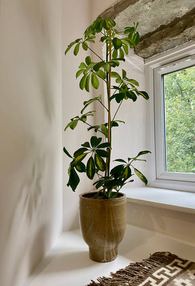 schefflera in window.