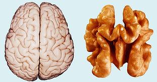 brain-walnut-getty.jpg