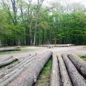 Importantes coupes de Châtaigniers  en Forêt de Sainte Apolline