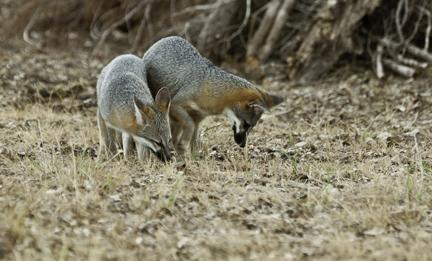 Gray Foxes by Karen Kilfeather