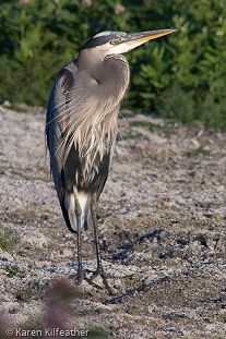 Great Blue Heron- Karen Kilfeather