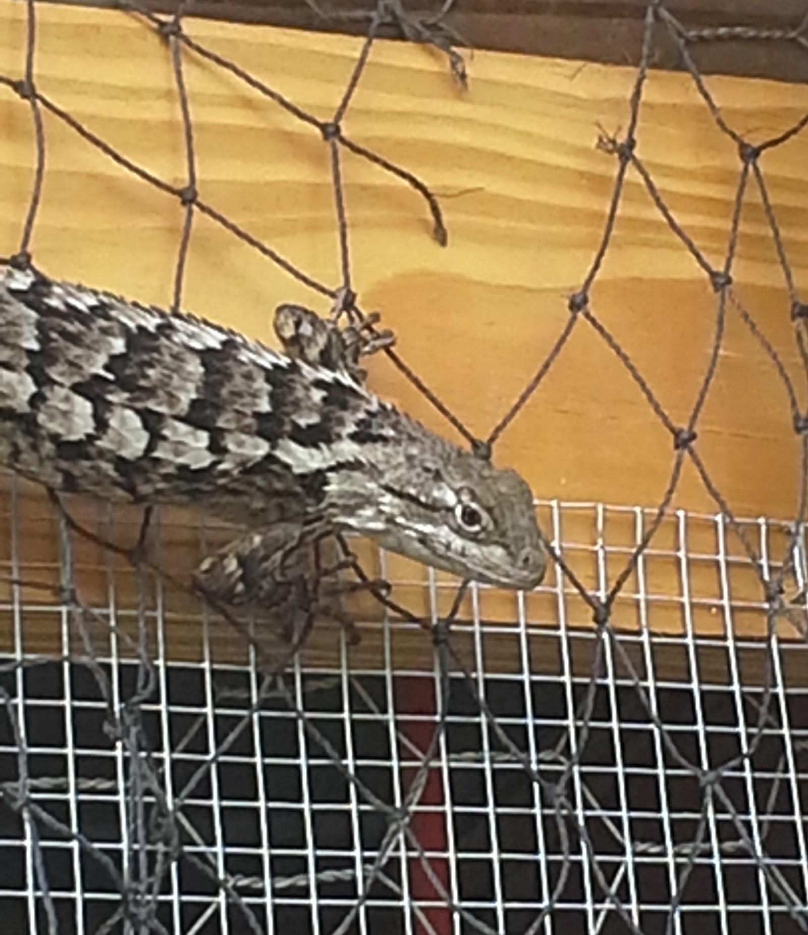 lizard at chickencoop.jpg