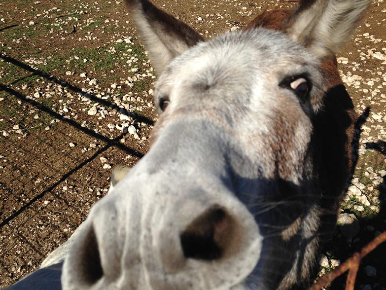 Zoe the rescued, guard donkey
