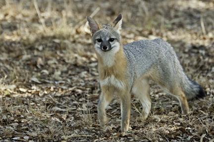 Gray Fox - Karen Kilfeather Photo