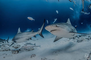 Bull Shark Diving Playa Del Carmen Mexico