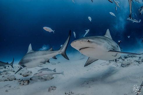 Scuba Diving Dive Bull Sharks Playa del Carmen Mexico Riviera Maya