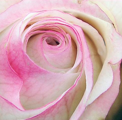Rose-gross.jpg
