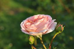 rosartig (1 von 13).JPG
