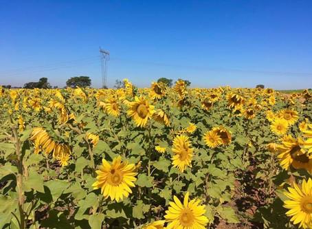 Plantação de girassóis chama a atenção de moradores de Sumaré