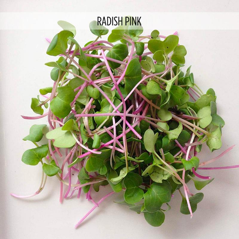 micro-pousse-radis-rose-radish-pink-2x