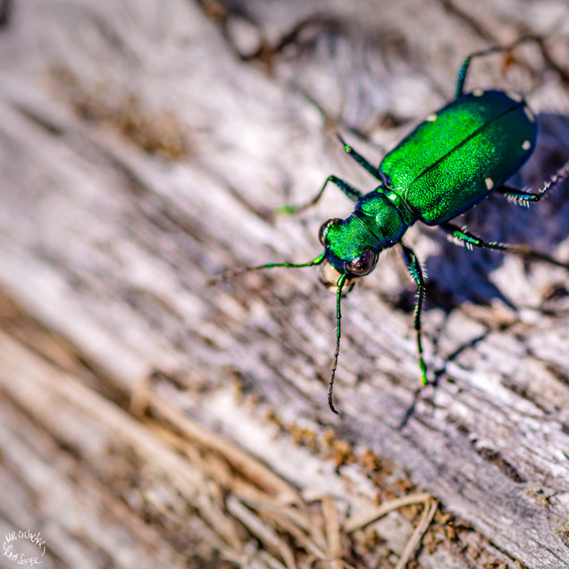 Wampatuck State Park. Six-spotted Tiger Beetle.