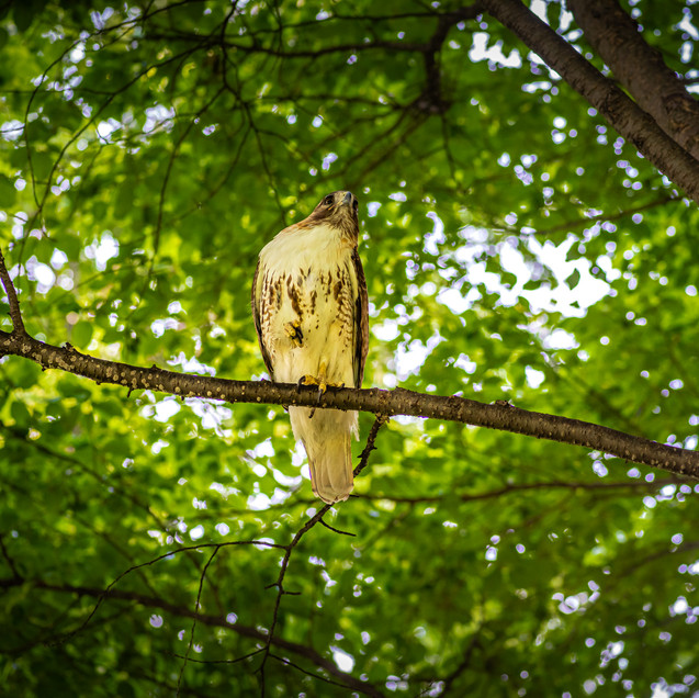 Red tail hawk hunting pigeons in the Boston Common.
