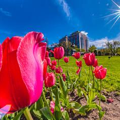 Tulips and George Washington in the Boston Garden