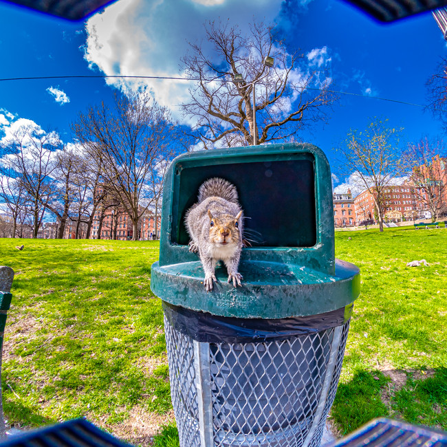 Squirrels were bold at the Boston Common in April - or very hungry. Shooting my full frame camera with DX lenses lets me leave the hood in the image, creating some weird shapes.