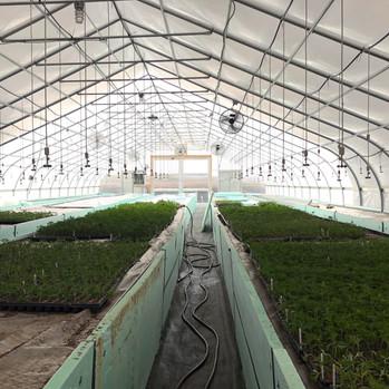 Clones in Greenhouse.jpg