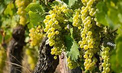 Grk grape