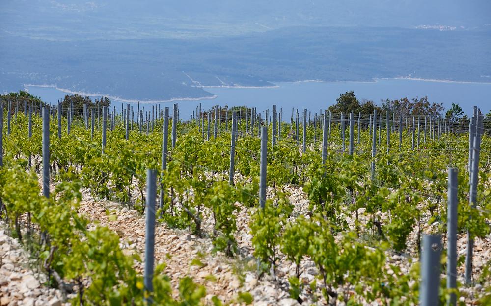 Vineyards on crushed stone