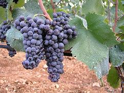 Plavina grape