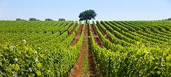 Croatian Wine - Istria