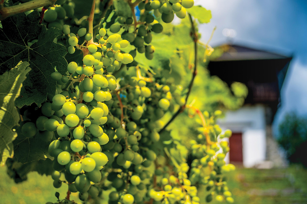 Graševina Grapes