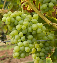 Vugava Grape
