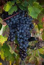 Babić - Croatian Grape