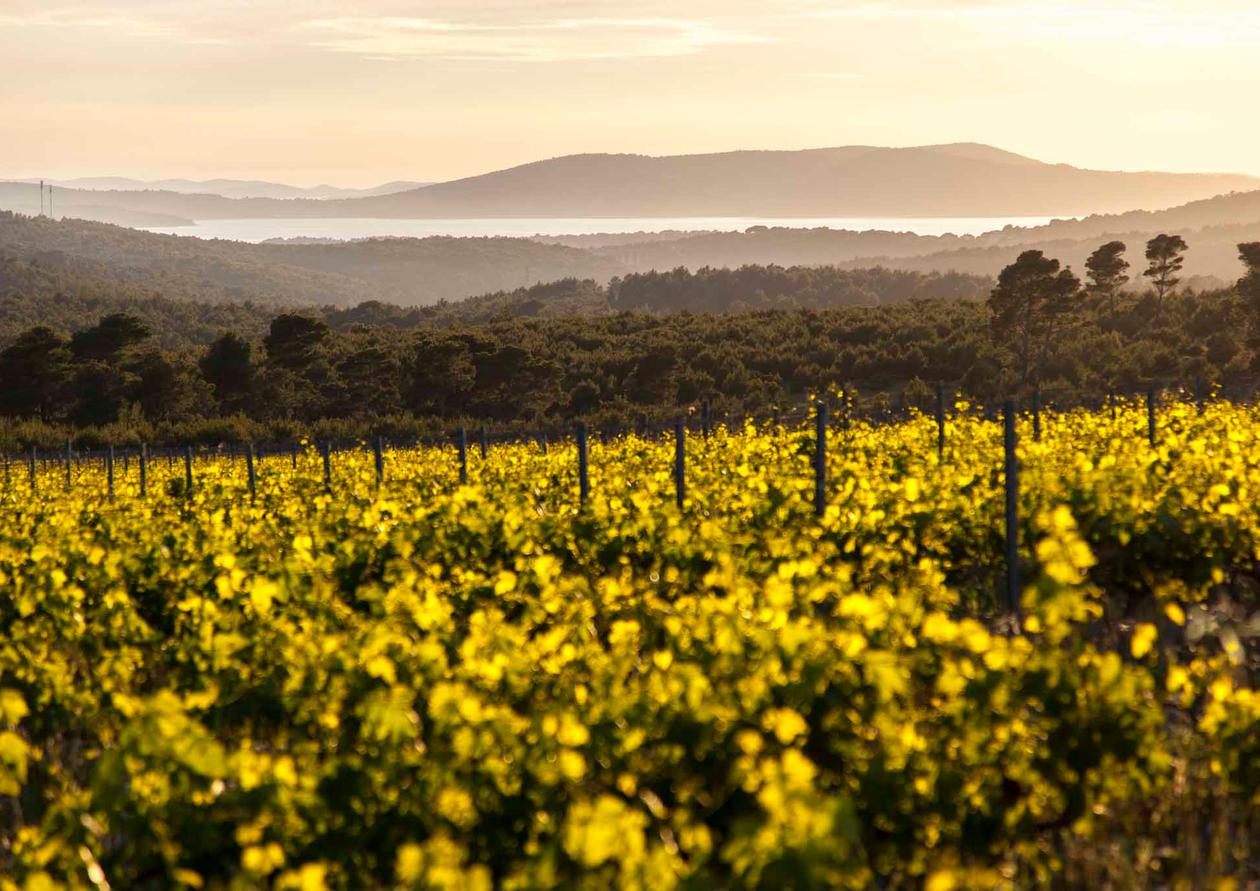 Testament - Vineyards and Adriatic.jpg