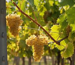 Graševina - Croatian Grape