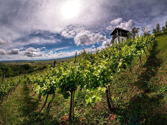 Kutjevo Winery vineyards
