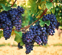 Plavac Mali - Croatian Grape