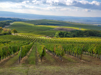 Kutjevo vineyards