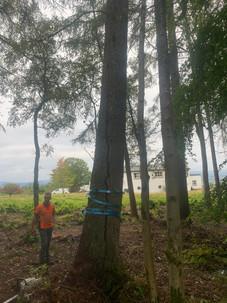 Douglas Fir Tree During
