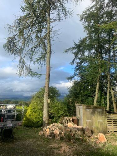 Multi Stem Tree Maintenance After