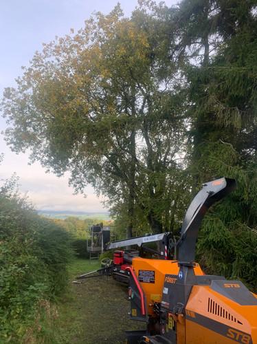 Multi Stem Tree Maintenance Before
