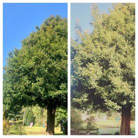 English Yew Tree Maintenance Comparison