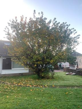 Cherry Tree Cutback Before