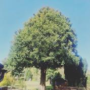 English Yew Tree Maintenance After