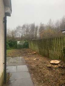 Conifer Trees After