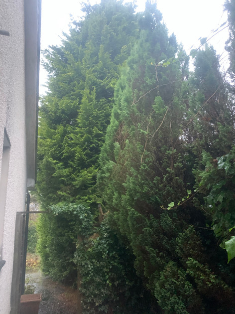 Conifer Trees Before