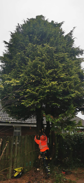 Conifer Trees During