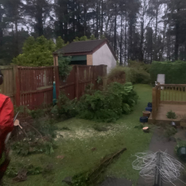 Conifer Hedge Pruning