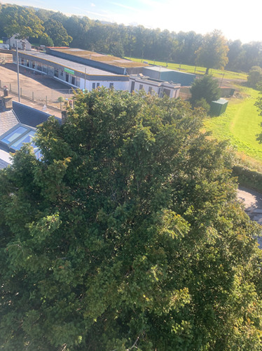 English Yew Tree Maintenance During Treatment