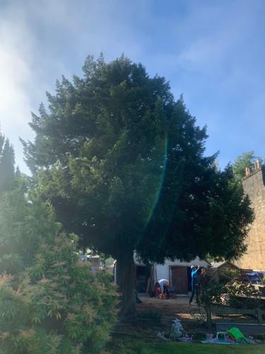 English Yew Tree Maintenance Before