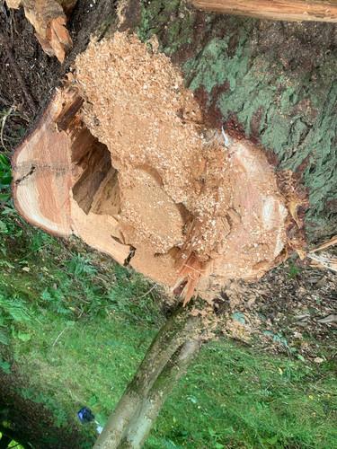 Douglas Fir Tree After