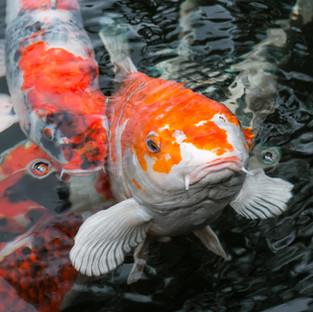 Japan Koi Carp in Koi pond.jpg