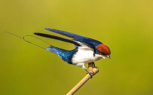 wire tailed swallow.jpg