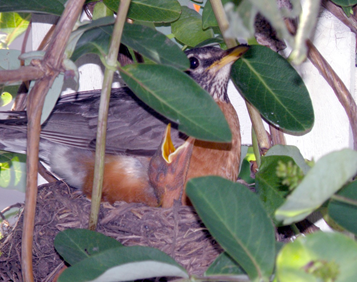 BACKYARD BABY ROBINS GIVE KIDS A REAL-LIFE NATURE LESSON