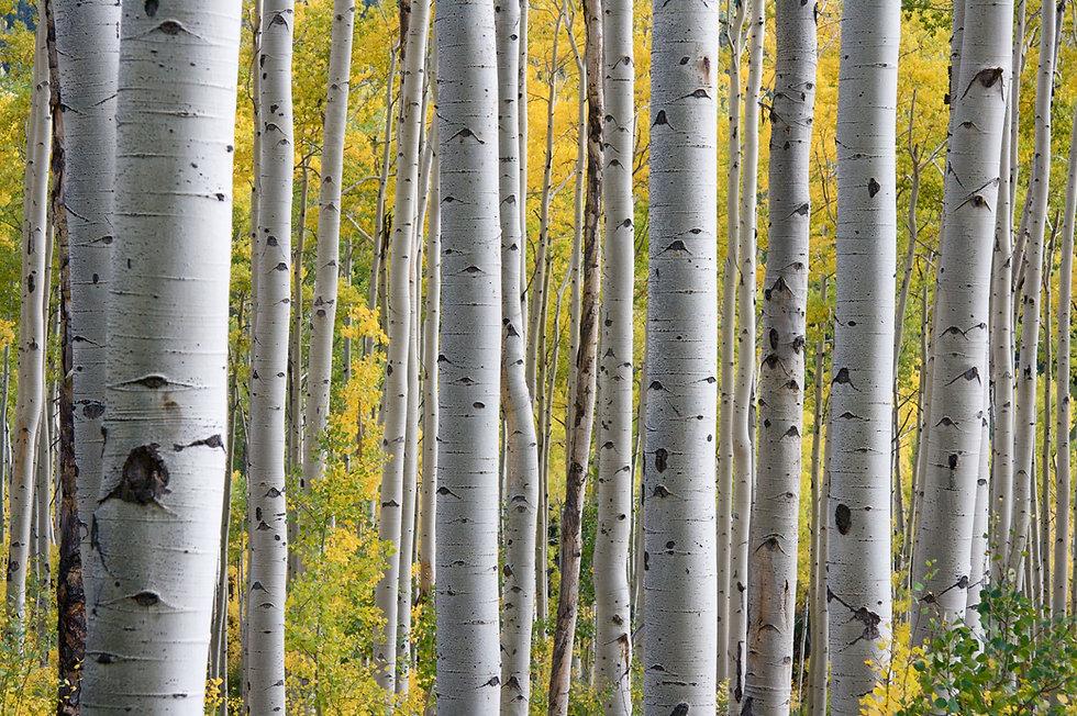 birch tree leafy.jpg